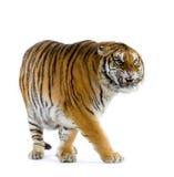 Het lopen van de tijger Stock Foto's