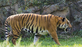 Het lopen van de tijger Royalty-vrije Stock Foto