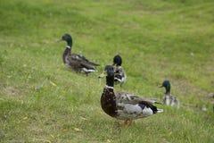Het lopen van eenden op het groene gras Royalty-vrije Stock Afbeelding