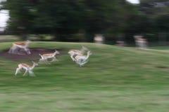 Het lopen van herten Royalty-vrije Stock Foto's