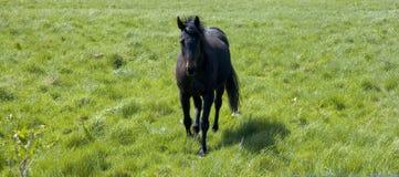 Het lopen van het paard Stock Fotografie