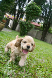 Het Lopen van het puppy stock fotografie