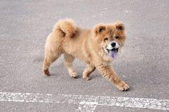 Het Lopen van het Puppy van Chaw van Chaw Stock Foto's