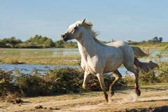 Het lopen van het wild paard Royalty-vrije Stock Foto's