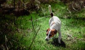 Het lopen van hond in het meest forrest Royalty-vrije Stock Foto