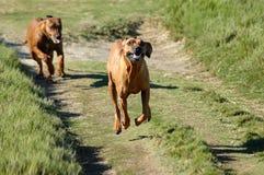 Het lopen van honden Stock Afbeeldingen