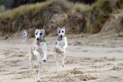 Het lopen van honden Stock Foto