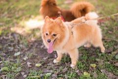 Het lopen van honden in park, Braaf huisdier met zijn eigenaar Royalty-vrije Stock Foto's