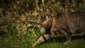 Het lopen van kat in groene gras royalty-vrije stock fotografie