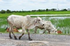 Het lopen van koeien op de weg naast padieveld Stock Afbeeldingen