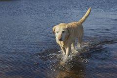 Het lopen van Labrador Stock Afbeeldingen