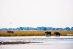 Het lopen van olifanten Royalty-vrije Stock Foto's