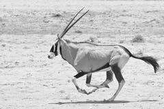 Het lopen van Oryx van Gemsbok Stock Afbeeldingen