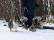Het lopen van het pak, serie van honden die, door enige persoon op de achtergrond op stadsstoep worden gelopen Stock Afbeelding