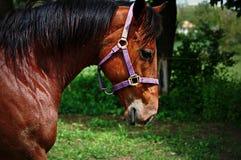 Het lopen van Quarterhorse Royalty-vrije Stock Afbeeldingen