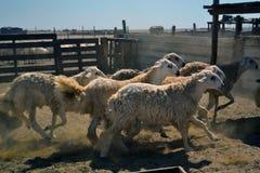 Het lopen van schapen Stock Afbeelding