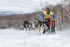 Het lopen van het teamkamchatka van de sleehond musher Semashkin Andrey De Sleehond die van Kamchatka Beringia, Russische Kop ren Royalty-vrije Stock Afbeeldingen