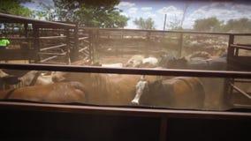 Het lopen vee van koeien stock video