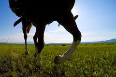 Het lopen voorwaartse paarden op de prairies stock fotografie