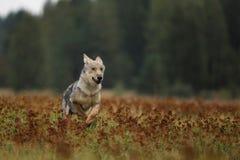 Het lopen welp van Europees-Aziatische wolf in de herfstweide - Canis-wolfszweer stock fotografie