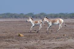 Het lopen wilde ezel Stock Foto