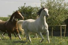 Het lopen wit paard Royalty-vrije Stock Afbeelding
