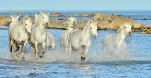 Het lopen Witte paarden door water stock afbeeldingen