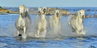 Het lopen Witte Paarden van Camargue stock afbeeldingen