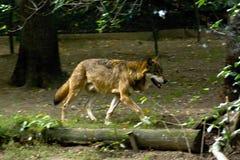 Het lopen wolf Stock Afbeeldingen