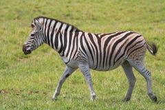 Het lopen Zebra Royalty-vrije Stock Afbeelding