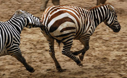 Het lopen zebras Royalty-vrije Stock Afbeeldingen