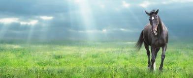Het lopen zwart paard bij ochtendgebied, banner royalty-vrije stock afbeelding
