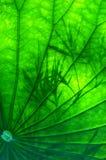 Het lotusbloemverlof Stock Afbeelding