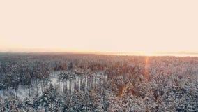 Het LUCHT DICHTE OMHOOG Vliegen over bevroren treetops in sneeuw gemengd bos bij nevelige zonsopgang Gouden zon die achter gemeng stock footage