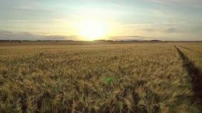 Het lucht Vliegen over Gele Gouden Landbouw van het Tarwegebied om Zonsondergang van Zon te ontmoeten stock video