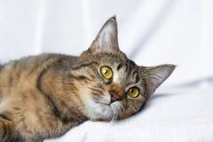 Het luie gestreepte katkat liggen Stock Foto's