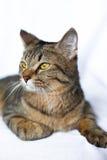 Het luie gestreepte katkat liggen Royalty-vrije Stock Foto's