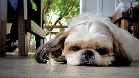 Het luie hond boring legt op de vloer stock foto's