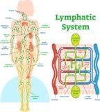Het lymfatische diagram van de systeem anatomische vectorillustratie, onderwijs medische regeling vector illustratie