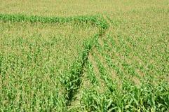 Het maïsgebied kweekt padie in tussenbouw Royalty-vrije Stock Afbeeldingen