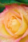 Het macro beeld van geel-roze nam met water toe drople Royalty-vrije Stock Afbeelding