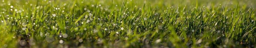 Het macro-panorama van gras met een dauw daalt royalty-vrije stock afbeelding