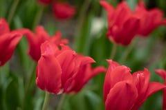 Het macro schieten van een Tulpenbloem van een ongebruikelijke kleur op een vage groene achtergrond stock afbeeldingen