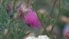 Het macrohommelkruipen op Klis bloeit en verzamelt Nectar stock videobeelden
