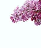 Het macroschot van lilac bloemen solated op witte achtergrond Goed voor uitnodiging en groetkaartontwerp Stock Afbeelding