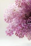 Het macroschot van lilac bloemen solated op witte achtergrond Goed voor uitnodiging en groetkaartontwerp Stock Foto's
