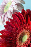 Het madeliefje van Barberton (jamesonii Gerbera) Stock Afbeeldingen