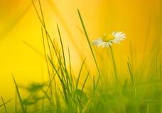 Het madeliefje van de lente Stock Fotografie