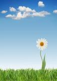 Het madeliefje van de lente royalty-vrije stock afbeeldingen