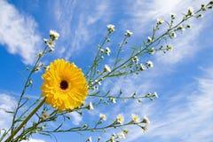 Het madeliefje van de zomer en blauwe hemel Royalty-vrije Stock Foto's